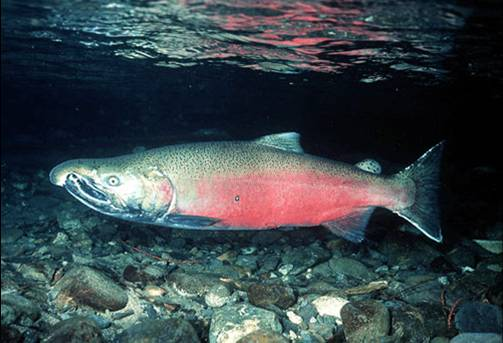 Court Challenge Filed to Recover Oregon Coast Coho Salmon