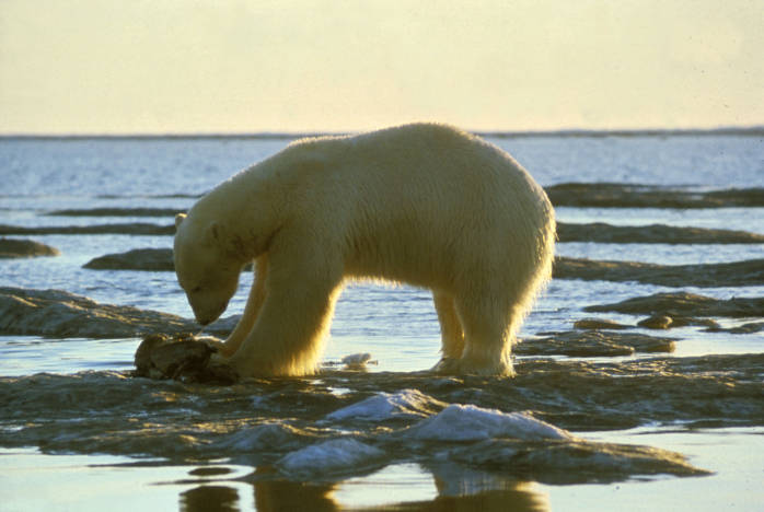 Suit Filed to Protect Polar Bear from Pesticide Contamination.