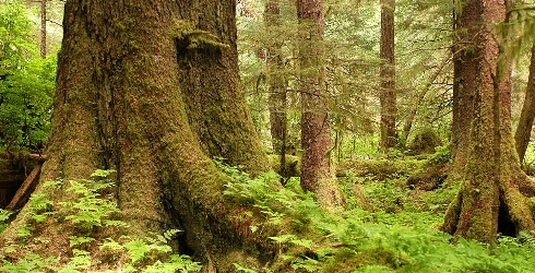 Court Rejects Old-Growth Clearcuts in the Tongass National Forest