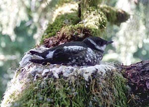 Searching for Marbled Murrelets