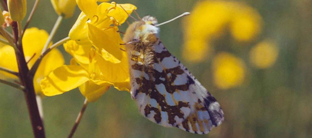 Fighting For Its Life (Again): The Island Marble Butterfly