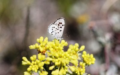 Victory for Butterfly Protection in PNW