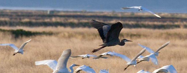 Judge's ruling favors wildlife on Klamath refuges