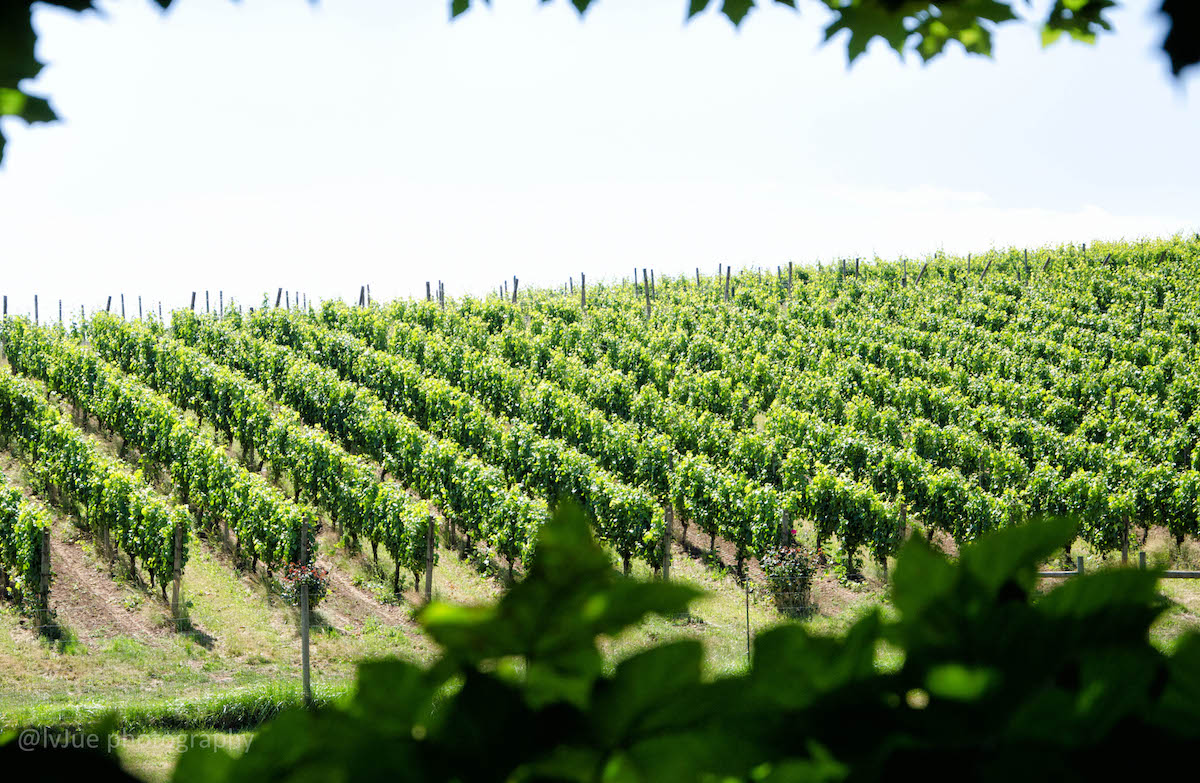 wine country photo by linda jue