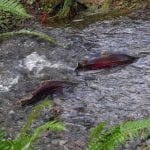 Coho salmon courtesy of Oregon Department of Forestry