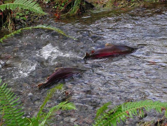 Up with Salmon, Down with Clearcuts