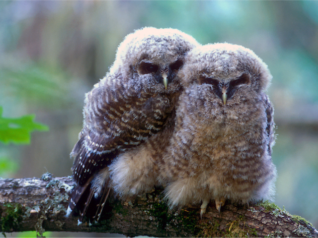 Northern spotted owlets - photo by Tom-Kogut, USFS