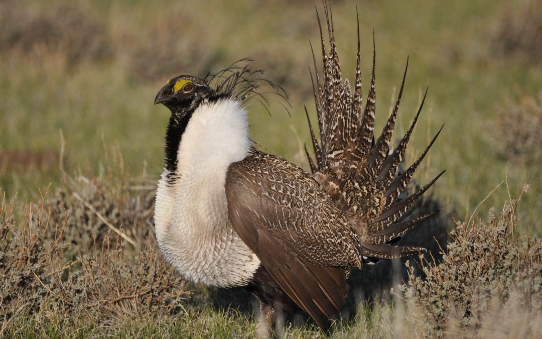 B2H Threatens Historic Oregon Trail and Imperiled Sage-Grouse Populations