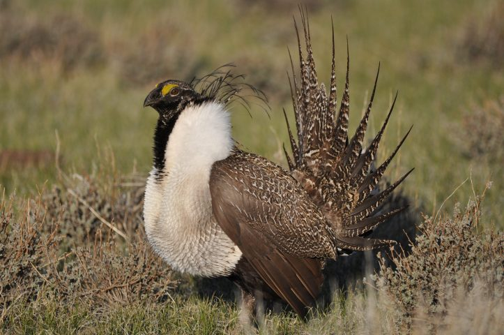 Greater Sage-Grouse in a field
