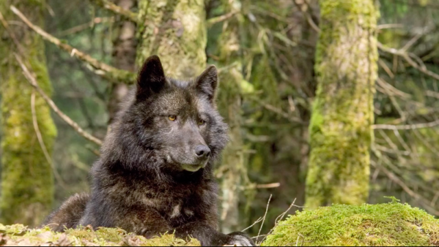 Watch Cascadia Wildlands' video about ground truthing in the Tongass.