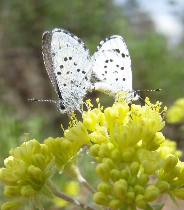 leonas butterfly
