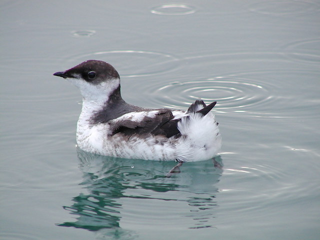 Juvenile Marbled Murrelet (Photo by Rich MacIntosh)