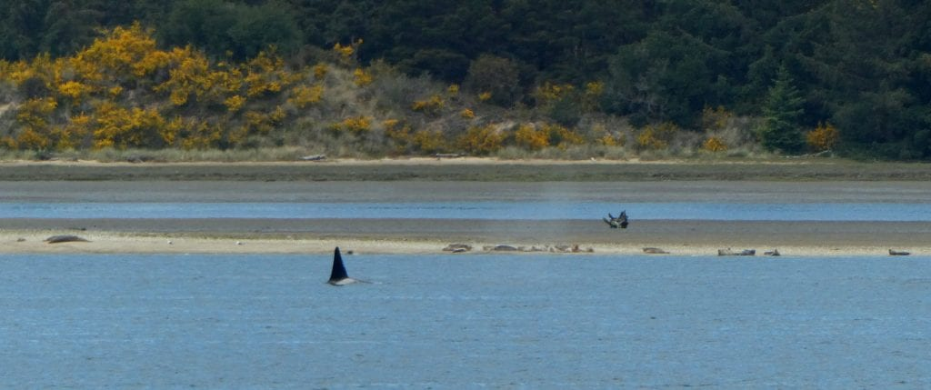 Orcas hunting harbor seals in Coos Bay
