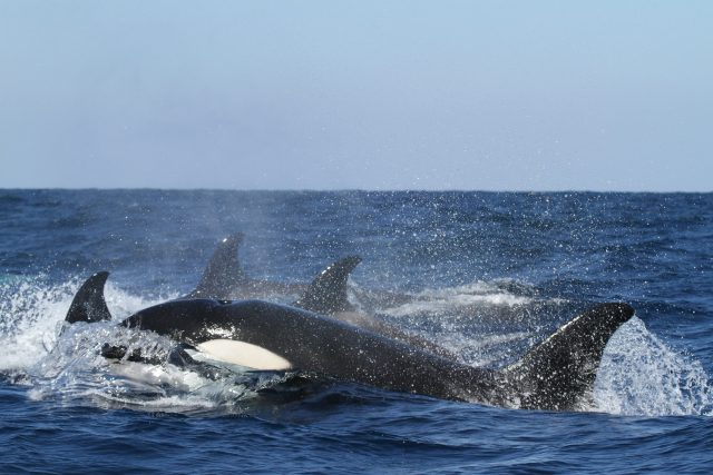 Several Southern Resident orca whales coming out of the water.