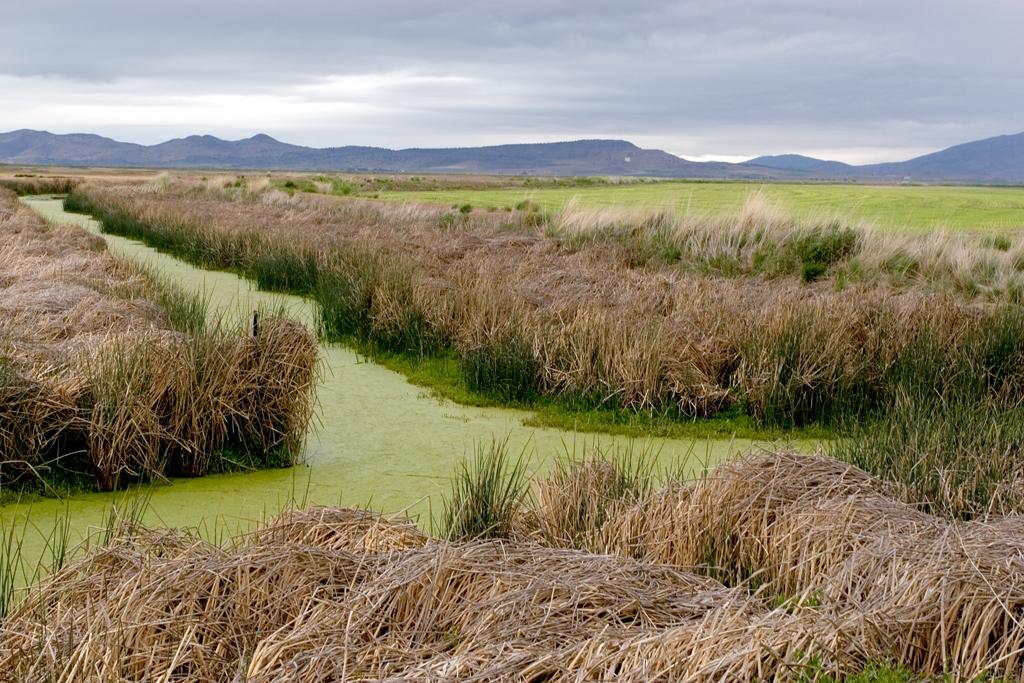 Algae in canals, Lower Klamath NWR