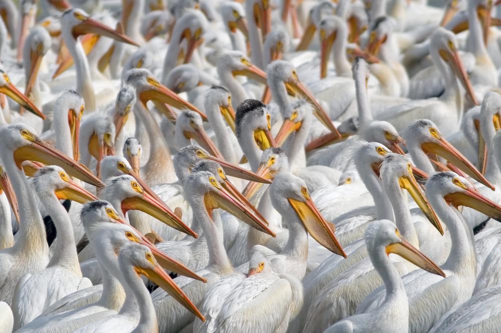 American White Pelicans, Lower Klamath Lake Refuge