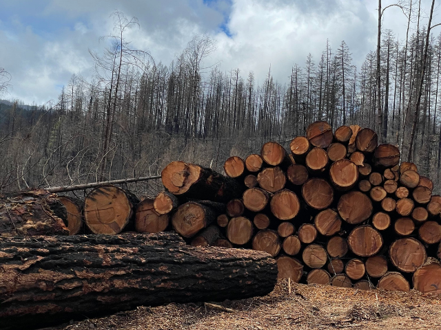 Logged old growth trees